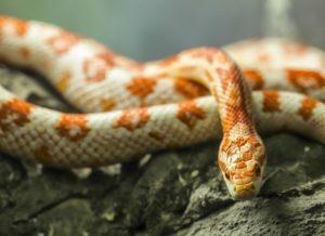 How Often To Feed Corn Snakes