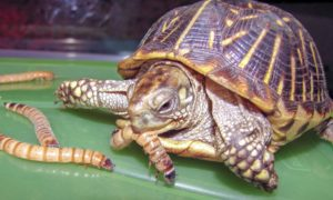 How To Feed Box Turtles And How-Often