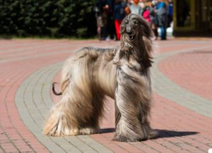 How To Groom The Coat Of Your Afghan-Hound