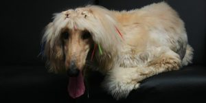 How To Groom The Coat Of Your-Afghan-Hound