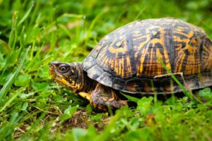 How To Take Care Of A Box-Turtle
