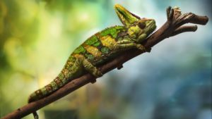 How To Take Care Of A Veiled-Chameleon