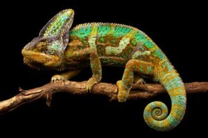 How To Take Care Of A-Veiled-Chameleon