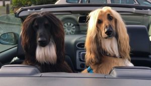 How To Transport Afghan-Hound In Car