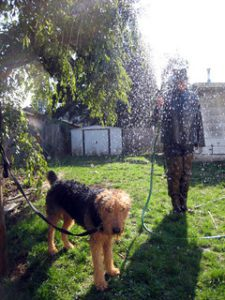 How To Wash Airedale Terrier