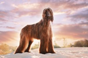 How to help an Afghan hound lose-weight