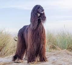 How to help an Afghan-hound lose-weight
