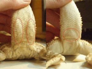 Male Bearded Dragon-VS-Female Bearded Dragon