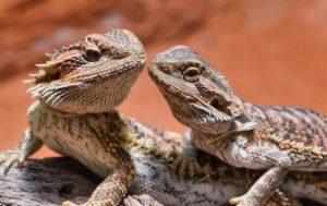 Male-VS-Female Bearded Dragon