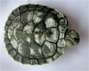 Turtle Shell Rot Symptoms, Causes and Treatments