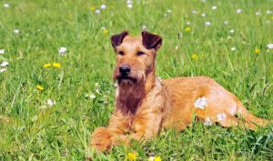 Wash Airedale Terrier