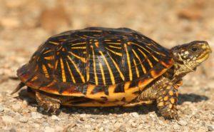 Western Box turtles