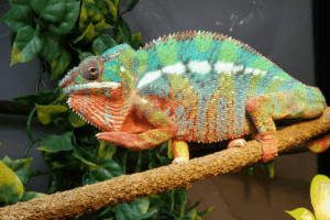 What Do Panther Chameleons Eat
