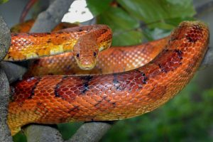 A Guide To Caring For Pet Corn-Snakes