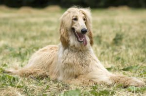 Afghan Hound Drools A Lot-what to do