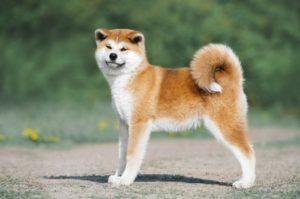Akita-Dog Everything-You-Need-To-Know