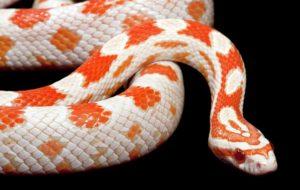Amelanistic (Albino) corn snake