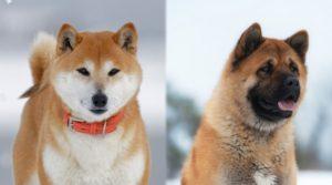 American-Akita-Japanese-Akita
