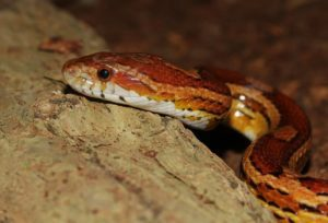 Are Corn Snakes Poisonous or Not