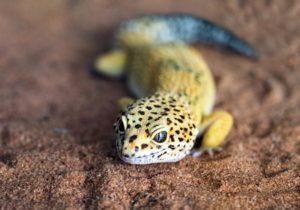 Are Leopard Geckos-Smart