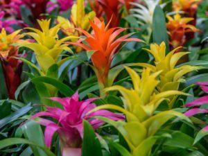 Blooming Bromeliad