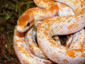 Calico corn snake
