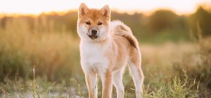 Can Akita-Dogs Live In Warm Weather