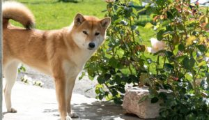 Can Akita-Dogs Live In Warm-Weather