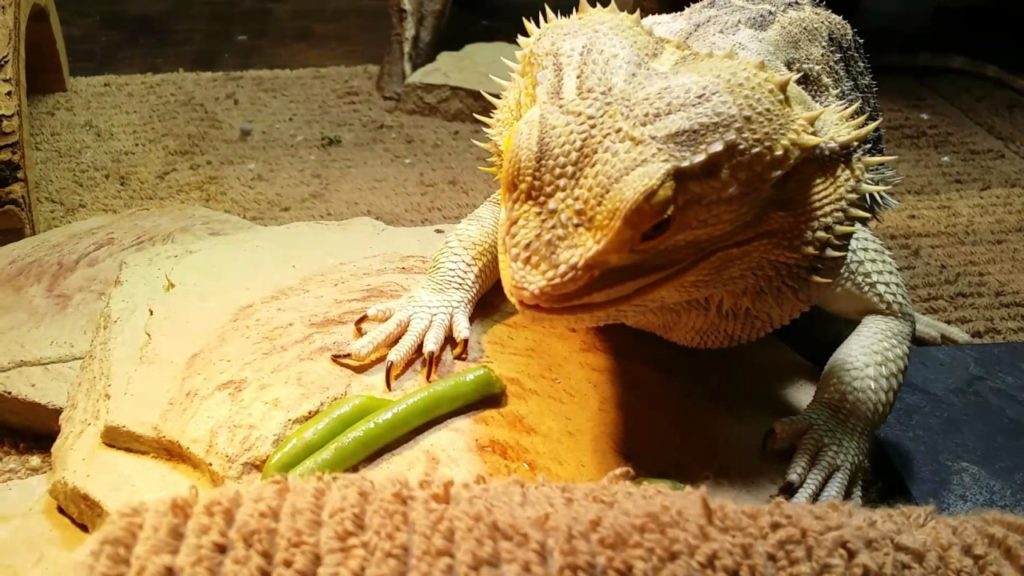 Can Bearded-Dragons Eat Green Beans
