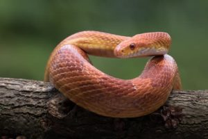 Can Corn Snakes Eat Fish