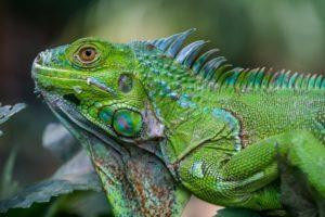 Can-Iguanas Eat Avocado