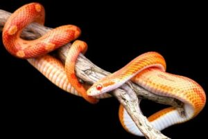 Can a Corn-Snake Go Without Eating