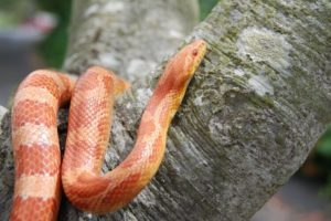 Can a Corn Snake Go Without Eating