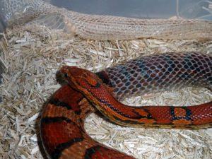 Corn-Snake Shedding