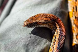 Corn-Snake Temperature And Humidity Requirements
