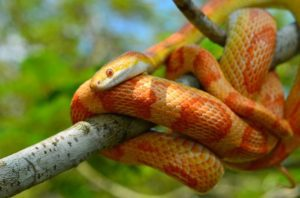 Corn Snake Temperature And Humidity Requirements