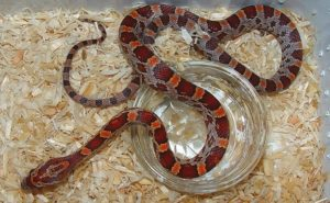 Guide To Caring For Pet Corn-Snake