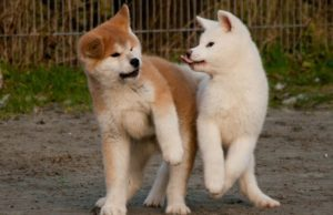 How-Much-Should-Akita Weigh-And-Grow