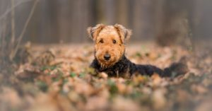 How To Care For Airedale-Terrier