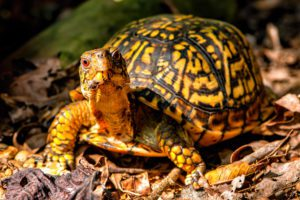 How To Care for Eastern Box Turtle