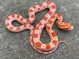 How To Determine A Corn-Snake's Age