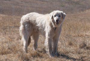 How To Groom Akbash-Dog
