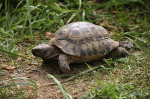How To Tell-The-Age Of A-Box-Turtle