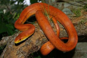 If My Corn Snake Is Dying