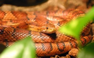 My Corn Snake Is Dying