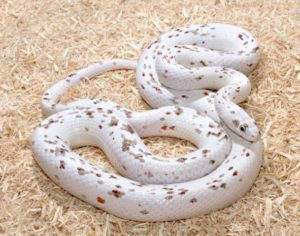 Palmetto corn-snake