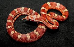Supplies You Need For A Pet Corn-Snake