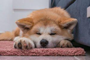 Why Does My Akita Sleep-Much