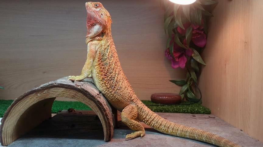 Why Is My Bearded Dragon Not Basking