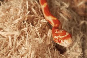 Why Won't My Corn-Snake Eat